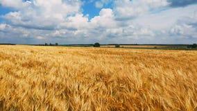 Begrepp av bröd och jordbruk Veteskörden svänger på fält mot blå himmel Bärnstensfärgade vågor av vete stock video