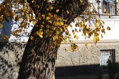 Begrepp av hösten i en gammal stad Solbelyst träd- och yeallowlövverk på bakgrunden av en vit gammal vägg Arkivfoton