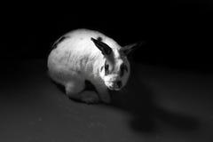Begrepp för djurt missbruk för kanin svartvitt Arkivfoton