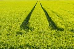 Begrepp för ekologiriktningsväg field grönt vete Väg i en grön veteåker royaltyfri bild