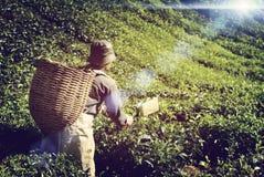 Begrepp för kultur för bondePicking Tea blad infött arkivbild