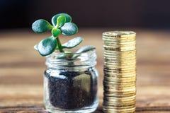 Begrepp för pengartillväxt Finansiellt tillväxtbegrepp med buntar av guld- mynt och pengarträdet (crassulaväxten) Arkivfoto