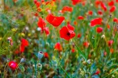 Begreppsvårblommor Härliga röda vallmo som tätt blomstrar upp royaltyfria foton