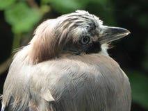 Begrundande - Eurasiannötskrika - Garrulusglandarius Royaltyfri Bild