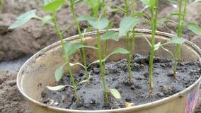 Behälter mit den Trieben des Gemüsepaprikas bereit zur Verpflanzung in den Boden Weibliche Handshowjungpflanzen stock video