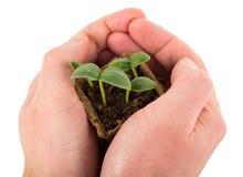 Behälter mit Gurkensprösslingen in den Händen Lizenzfreies Stockfoto