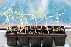 Behållaren med tomatväxten spirar på fönsterbräda Arkivbild
