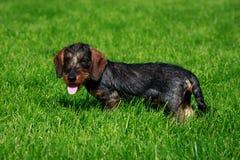 Behaarter Dachshund des Hunderasse-Drahtes lizenzfreie stockbilder