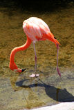 Behagfull amerikansk röd flamingo i sjön Royaltyfri Fotografi