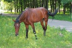 Behagfull brun häst Royaltyfri Bild