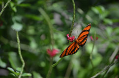 Behagfull ek Tiger Butterfly Around Pink Flowers Arkivfoto