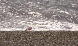 Behagfull fiskmås på kusten under en storm Royaltyfria Bilder
