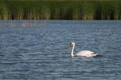 behagfull svan på en solig dag på sjön Royaltyfri Fotografi