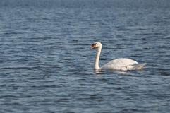 Behagfull svan på yttersidan för blått vatten fotografering för bildbyråer