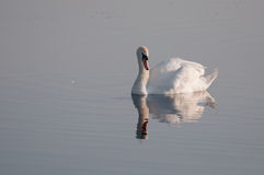 Behagfull svan reflekterad på vattenyttersidan royaltyfri fotografi