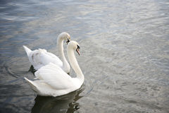 Behagfull swan royaltyfri foto