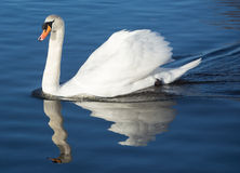 Behagfull swan Royaltyfria Foton