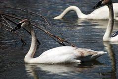behagfull trumpetare för swan tre Royaltyfri Fotografi