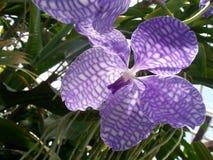 Behagfull violett orkidé Fotografering för Bildbyråer