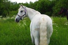 Behagfull vit häst i ett fält royaltyfri fotografi