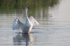 Behagfull vit svan som tycker om vatten arkivfoto
