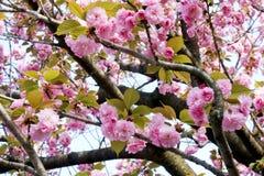 Behagfulla och eleganta tvilling- kronblad för körsbärsröd blomning Royaltyfri Bild