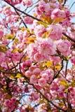 Behagfulla och eleganta tvilling- kronblad för körsbärsröd blomning Royaltyfri Fotografi