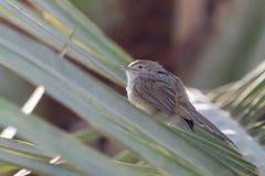 Behagfulla Priniasittpinnar p? ett tr?d med r?da blommor i bakgrunden i gracilis Muscat, Oman Prinia royaltyfria foton