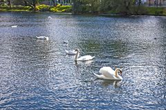 Behagfulla svanar i sjön royaltyfria foton