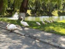 Behagfullt och stilfullt swans arkivbilder