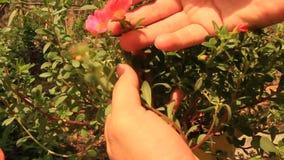 Behandel installaties en bloemen in de tuin stock video