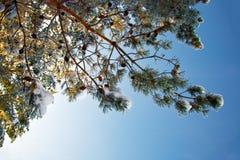 Behandelde de brunchsneeuw van de pijnboom Stock Afbeelding