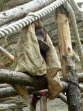 Behandelde orangoetan Stock Foto