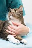 Behandeling bij een kat Stock Foto