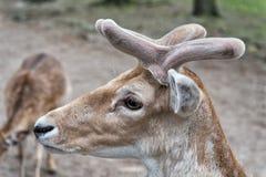 Behandeln Sie Tiere die Weise, die Sie behandelt werden möchten Rehbock oder männliche Dollarrehspezies Rötliches wildes Rotwildt lizenzfreie stockfotografie