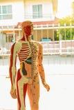 Behandla med akupunktur diagramet för punkter, för benet, för muskeln och för det inre organet arkivbild