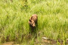 Behandla som ett barn älgen i Colorado i gräs Arkivbild