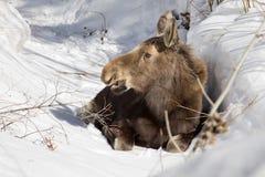 Behandla som ett barn älgen, Wyoming Royaltyfri Fotografi