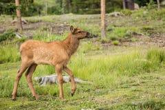Behandla som ett barn älgkalven i Rocky Mountain National Park Arkivbild