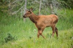 Behandla som ett barn älgkalven som går i gräs i Colorado Fotografering för Bildbyråer