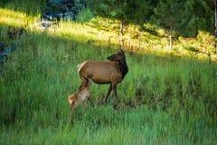 Behandla som ett barn älgkalvsjukvård på moderälgen Colorado Royaltyfri Foto