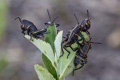 Behandla som ett barn östliga Lubbergräshoppor fotografering för bildbyråer