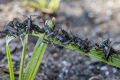 Behandla som ett barn östliga Lubbergräshoppor på en växt arkivbilder