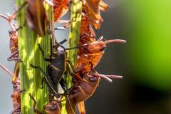 Behandla som ett barn östliga Lubbergräshoppor på en växt royaltyfri bild