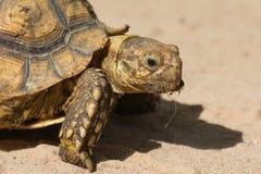 Behandla som ett barn afrikanen sporrade sköldpaddan Royaltyfri Foto