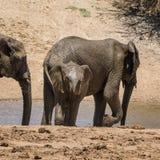 Behandla som ett barn afrikansk elefant 13 Arkivbilder