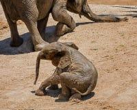 Behandla som ett barn afrikansk elefant 15 Arkivbild