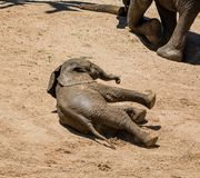 Behandla som ett barn afrikansk elefant 17 Arkivfoto