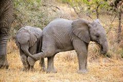 Behandla som ett barn afrikanska elefanter Royaltyfri Bild