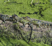 Behandla som ett barn alligatorer Royaltyfria Foton